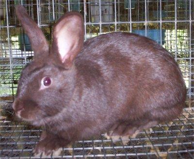 Havana Rabbits